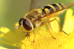 Hoverfly  Syrphus rebesii (Kentish Plumber) Tags: uk england nature insect countryside kent europe wildlife southeast hoverfly syrphidae diptera southernengland weald nbw syrphusrebesii