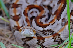 Timber Rattlesnake getting curious (Brian Eagar Nature Photography) Tags: nature forest georgia woods fuji reptile snake wildlife curious rattlesnake timberrattlesnake investigating crotalus canebreak xt1 xf55200