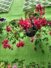 Flor brinco de princesa (Marta Felipe) Tags: flores jardim brincodeprincesa suspenso jardinagem