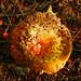 Yellow and Red Mushroom