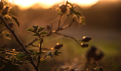 More Dog Rose Rosehips (pogmomadra) Tags: sunset dog sun sunlight leaves rose wednesday evening spider leaf nikon bokeh web cobweb wildflower rosehips goldenglow hbw happybokehwednesday d5300 bevclark pogmomadra