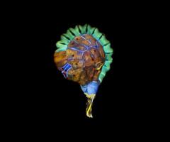Fern sporangia (Rogelio Moreno G.) Tags: fern sporangia