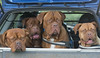 A car full of ....... (Gies!) Tags: pets dogs car animals boot y bordeaux