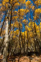 A golden forest
