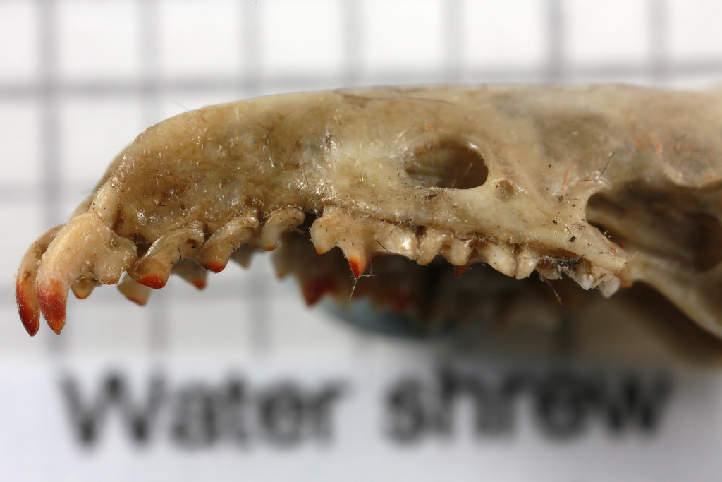 Shrew teeth