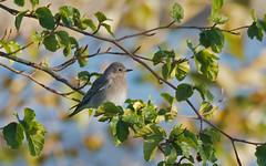 pale Mountain Bluebird (nickinthegarden) Tags: canada vancouverbc newbrightonpark mountainbluebird