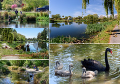 Postcard from Christchurch (Jocey K) Tags: trees newzealand christchurch sky people cars water collage reflections river spring blossom postcard scene swans nets avon cygnets avonriver redzone traviswetland whitebating
