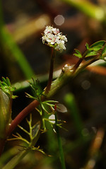 Apium inundatum. Lesser Marshwort. (All Botanical Photography) Tags: aquatic whiteflowers umbelliferae apiuminundatum lessermarshwort apiacaea