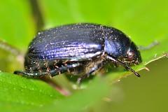 Anomala sp (Jess Tizn Taracido) Tags: coleoptera rutelinae anomala rutelidae polyphaga scarabaeoidea scarabaeiformia anomalini