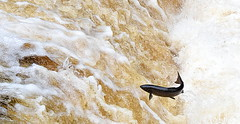 Leaping Salmon 3 - Stainforth (mikedenton19) Tags: park fish water up river jump jumping force north salmon national foss leap leaping dales stainforth yorjshire