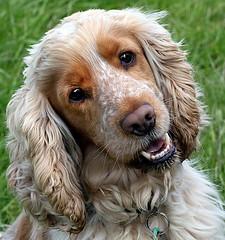 Oscar (Chrissie28IWish! ~ hubby passed away 5th Dec peace) Tags: portrait male fur nose eyes tan cream ears cockerspaniel petdog