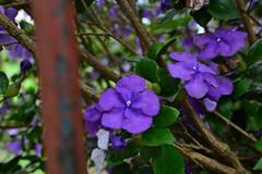DSC_0952 (Arquivo e Preservao | Lucas) Tags: flores natureza flor roxo lilas ambiental