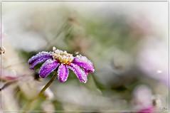 Koud he (hejos54) Tags: bevroren bloem bloemen herfst canon ef100mmf28lmacroisusm canoneos5dmarkiii koud ijs rijm