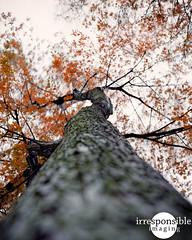 Climbing the Trees (Irresponsible Imaging) Tags: autumn color mamiya film analog photoshop mediumformat rainyday kodak scanned epson analogue grainy lightroom selfdeveloped jimrichards c41 homedeveloped colorfilm colornegative scannedfilm vuescan kodakportra160 mamiyarz67proii digitalpostprocessing sekorc110mmf28 epsonv600 epsonv600photo fall2015 irresponsibleimaging fineartonfilm