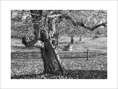 Gnarly Old Apple Tree (lclower19) Tags: tree apple promptaddicts weathered black white bw frame fruitlands harvard massachusetts odt