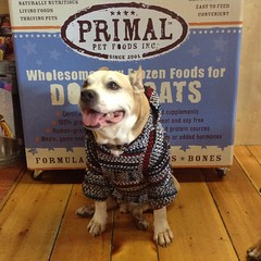"""Whhhaat?!? @primalpetfoods is sponsoring #trickforatreat #Howlaween contest? Count me in""-Gotti #primalpetfoods #dogsofmaine #dogstagram"