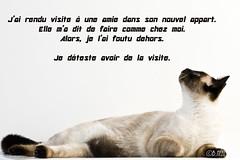 PSD07516 (Nelix) Tags: cats cat chat sony flin siamois sony7020028ssmg sonya77 sonya777020028ssmg
