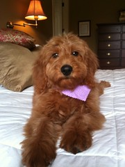 blaise--aka-tater--shes-one-of-riley-and-chewys-puppies-_4390429552_o