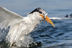 Coming out! (bmse) Tags: fish water canon drops fishing l elegant f56 tern salah bolsachica 400mm 7d2 bmse baazizi