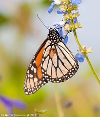 Resting monarch (v4vodka (back in Poland)) Tags: butterfly insect lepidoptera monarch milkweed wanderer monarchbutterfly danausplexippus motyl milkweedbutterfly commontiger blackveinedbrown
