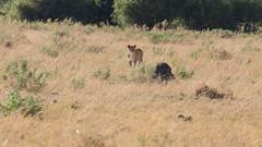 20151107_Savuti_0209.jpg (eLiL1860) Tags: botswana tierwelt löwe safari2015