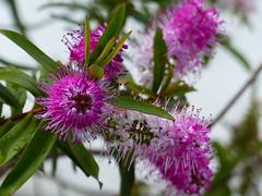 hebe heaven [Explore-2016-10-01] (Gazman_AU) Tags: hebe pink flowers plant garden outdoor spring