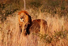 South Africa (ClaDae) Tags: southafrica africa lion male free nature wildlife field