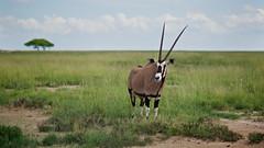Gemsboks (Oryx), Etosha National Parc, Namibia (Alex_Saurel) Tags: savanna oryx autruche girafe dry color nature afrique africa animal outdoor gemsboks photojournalism group day twiga southernafrica hot afriqueaustrale 85mmf14za