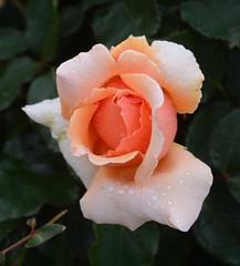 Just Joey (Ingrid Van Streepen) Tags: roses