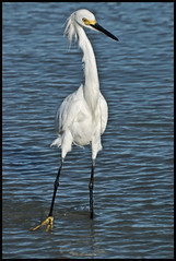 Stopping by the Beach with a Snowy Egret: 2016 (hamsiksa) Tags: birds aves avian egrets herons ardeidae egrettathula ornithology wadingbirds beach newsmyrnabeach atlantic florida volusiacounty subtropicpeninsula