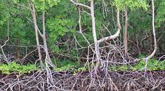 rvores (jakza - Jaque Zattera) Tags: bahia troncos razes mangue diferente