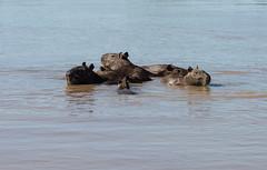 DSC_1347.jpg (riandar) Tags: brazil pantanal capybara wildlife mammals safari nature jaguarflotel