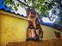 Maria..the Queen of the garden!!! (panoskaralis) Tags: cat cats pets pet animals nature outdoor garden houses lemontree trees island lesvosisland lesbos lesvos mytilene greece greek hellas hellenic green