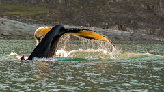 Colors of the Humpback (Jean-Claude Kresse) Tags: natural light nature photograph pics sea ocean fish greenland arctic whale qeqertarsuaq humpback disko nikon d7100 tamron 90mm di macro island