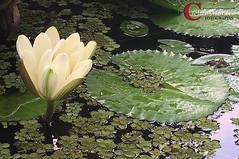 Vitória Régia - Tanguá - RJ - Brasil (Cleber Moraes) Tags: tanguá flores riodejaneiro