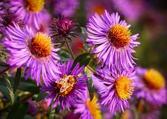 """""""Glorious Fall Flowers"""" (Cathy Lorraine) Tags: glorious autumn fall flowers batterypark manhattan newyorkcity newyork"""