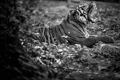 qui veut un piercing ? (rondoudou87) Tags: tigre tiger sumatran nature wild wildlife parc zoo reynou pentax k1 extrieur animal noiretblanc noir black blanc blackwhite monochrome dent tooth teeth