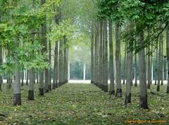 Les alles de l'automne (FleurdeLotus28) Tags: automne autumn arbre tree nature landscape feuilles leaves perspective line ligne eureetloir rgioncentre nikon paysage