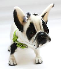 bully9 (Yanina Link) Tags: teddy toys puppy bilibinobears bulldog frenchie bully doll dog softsculpture sculpture ooak ooakteddybear ooakdoll art artwork animals artistteddybear