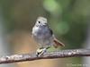 Oak Titmouse (Baeolophus inornatus) (David A Jahn) Tags: oak titmouse bird baeolophus inornatus branch seed clutching