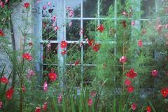 . (LauraKiora) Tags: cinestill cinestill50 konicac35 filmphotography 35mmfilm 35mmphotography window charleston bloomsburygrooup flowers cottage blooms ishootfilm 35mm