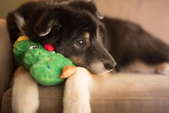 The holidays are upon us... (christinemcroberts) Tags: cute holidays christmas d750 nikkor nikon 50mmf14 primelens dogs dog
