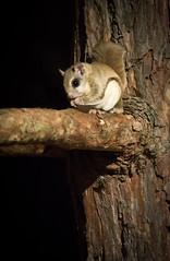 Peanut Muncher! (Wild Birdy) Tags: mn glaucomys sabrinus gsabrinus squirrel flying flyingsquirrel minnesota usa kabekona night nocturnal mammal eyes peanut peanutmuncher tree bark cute adorable fat