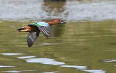 The cinnamon teal (Anas cyanoptera) (surferjaws) Tags: ducks patos teals
