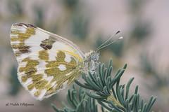 Pontia edusa (Michele Villafranca.) Tags: farfalla pontiaedusa natura naturallight natural butterfly tamron90mmmacro tc200 tripod green