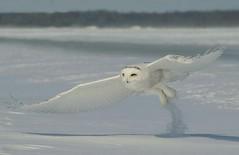 Snowy Owl (Nick Scobel) Tags: snowy owl bubo scandiacus michigan invasion irruption year birds canon birding owls birdwatcher