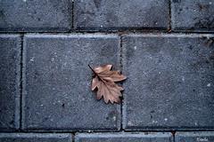 UrLeaf (Emde.) Tags: autuum leaf blatt collor grey brown urban nature outisde no poeple herbst winter braun grau