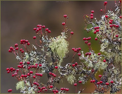 PA251849 e1 MF br (David W Geddes) Tags: hawthorn lichen usnea ramalina cleanair northstrome scotland october berries