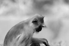 gray langur (tsunni) Tags: gray langur monkey sigma contemporary nikon d7000 150600