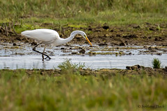 Ardea alba / Great egret / Большая белая цапля / Sølvhejre (Svitlana Tkach) Tags: waterbird wild bird wildlife ardea alba great egret большая белая цапля sølvhejre